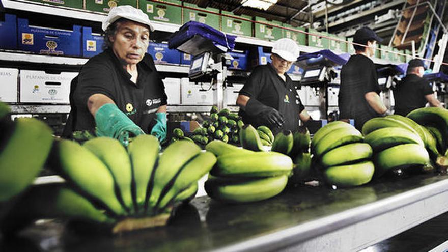 Imagen de archivo de un empaquetado de plátanos, en Canarias