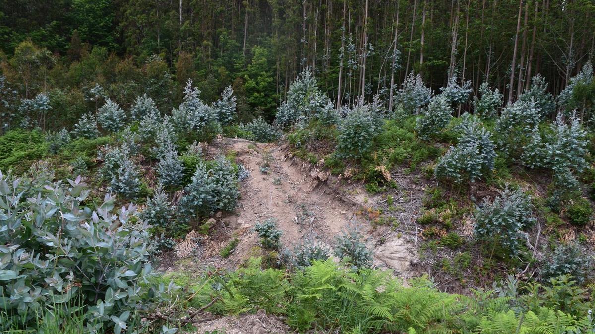 Imagen de la plantación de eucaliptos en la zona del Castro de Montoxo, en Alfoz (Lugo)