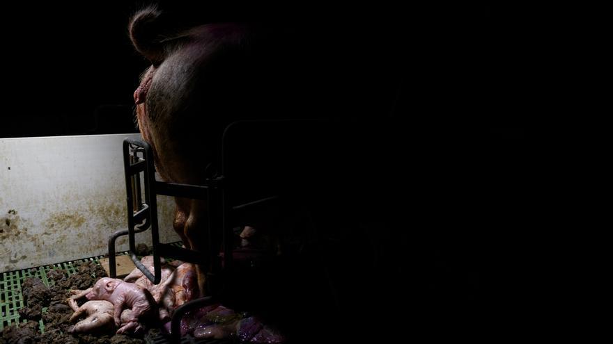 Una de las fotos de la serie sobre la industria porcina española premiada por Picture of The Year