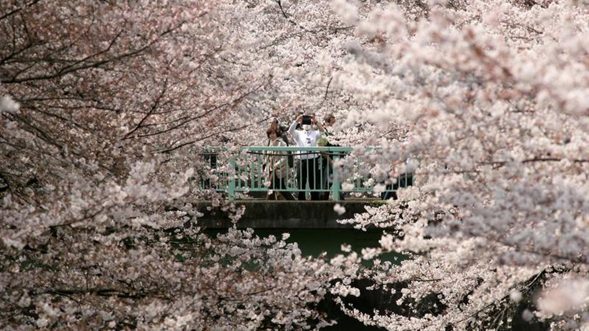 """Japón se tiñe de rosa con el """"sakura"""", época de los cerezos en flor"""