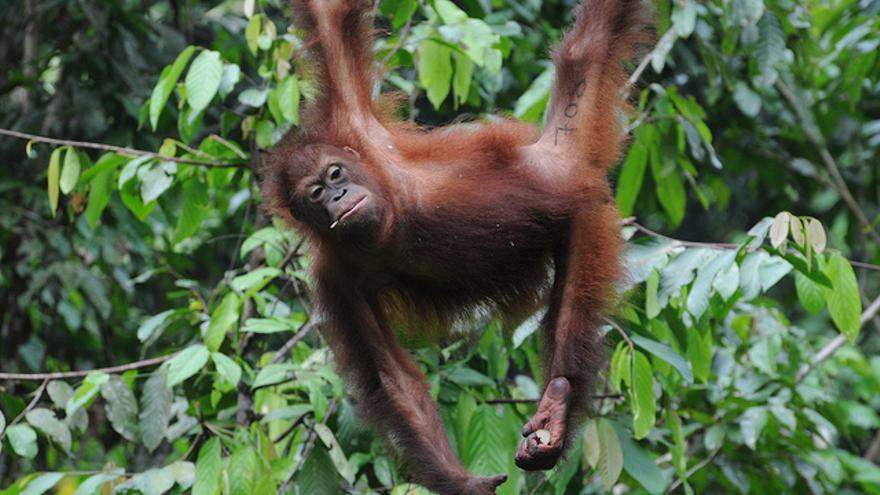 Orangután en un parque nacional de Borneo. Shankar S