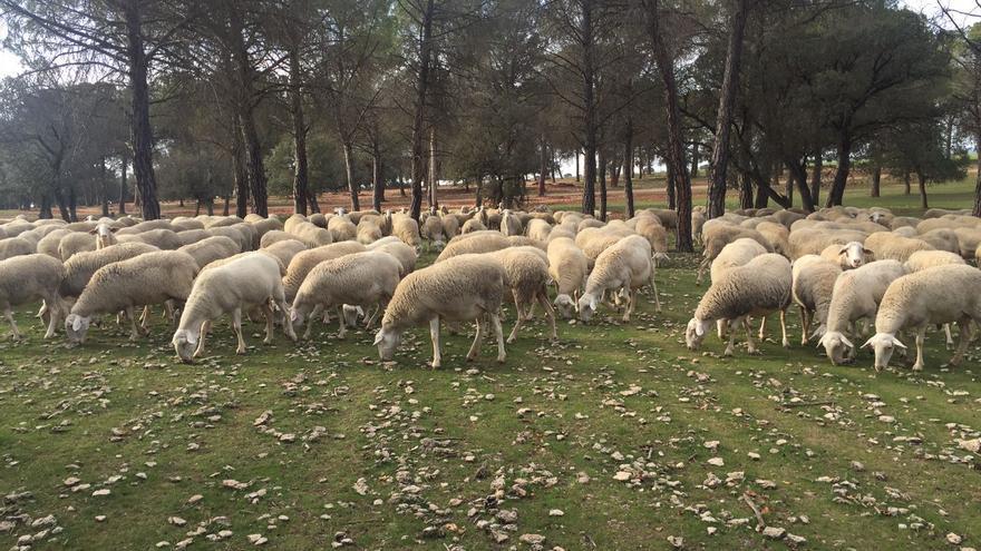 Ganado pastando en pinares en Casas de Haro (Cuenca)