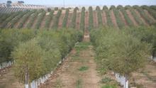 Olivos que esquilman el agua milenaria o cómo abrir la puerta al avance de la desertificación en España