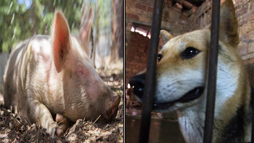 Izda: Amadeo, rescatado por El Hogar-ProVegan Foto: Antonio García. Dcha: Vita en China, antes de ser rescatada por Igualdad Animal