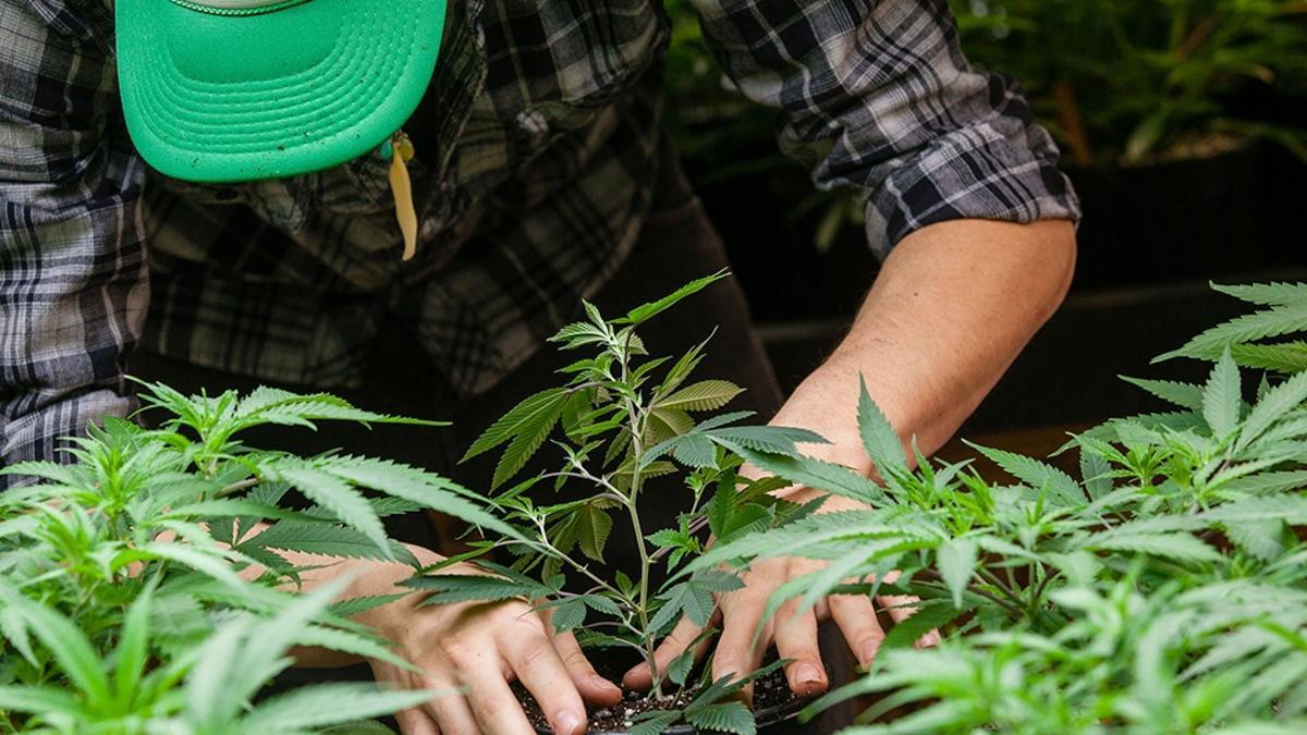 La Ley de Drogas todavía penaliza a la persona que traslada al menos una semilla de cannabis.