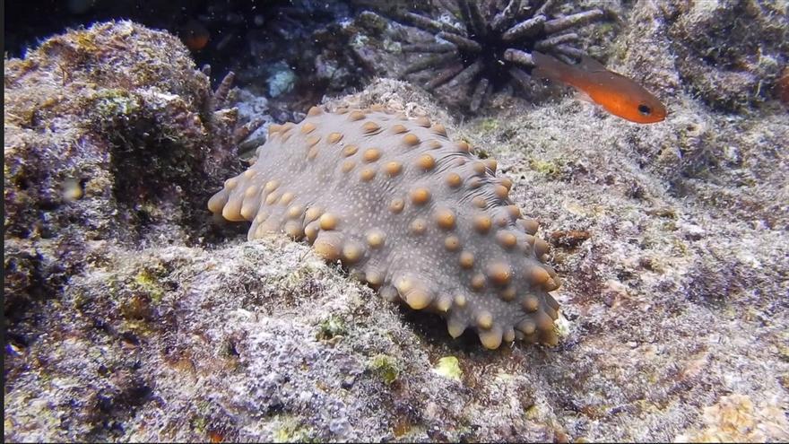 Ecuador abre la pesca controlada de pepinos de mar en una reserva de Galápagos
