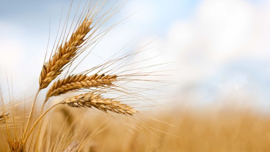 Espigas de trigo, en una imagen de archivo.