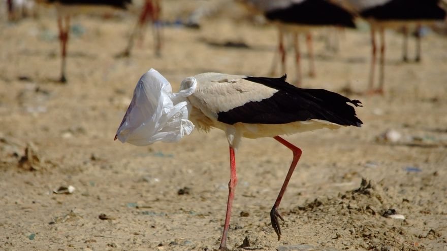 Las aves encuentran bolsas y plásticos entre los restos.