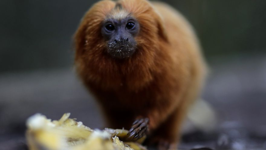 Río de Janeiro levanta un puente para preservar el futuro de su mono más emblemático