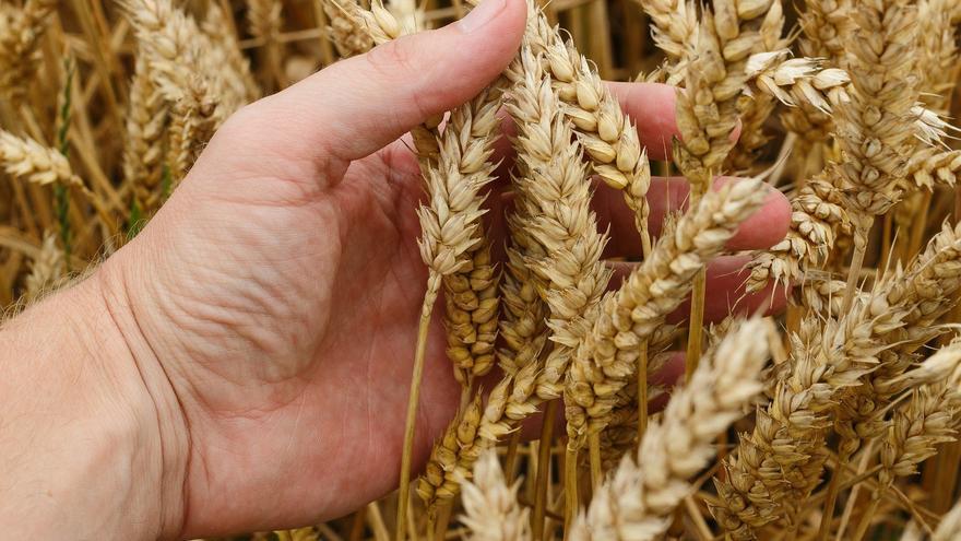 La guerra de los precios lastra una campaña de cereal de secano que se presenta buena en calidad y cantidad