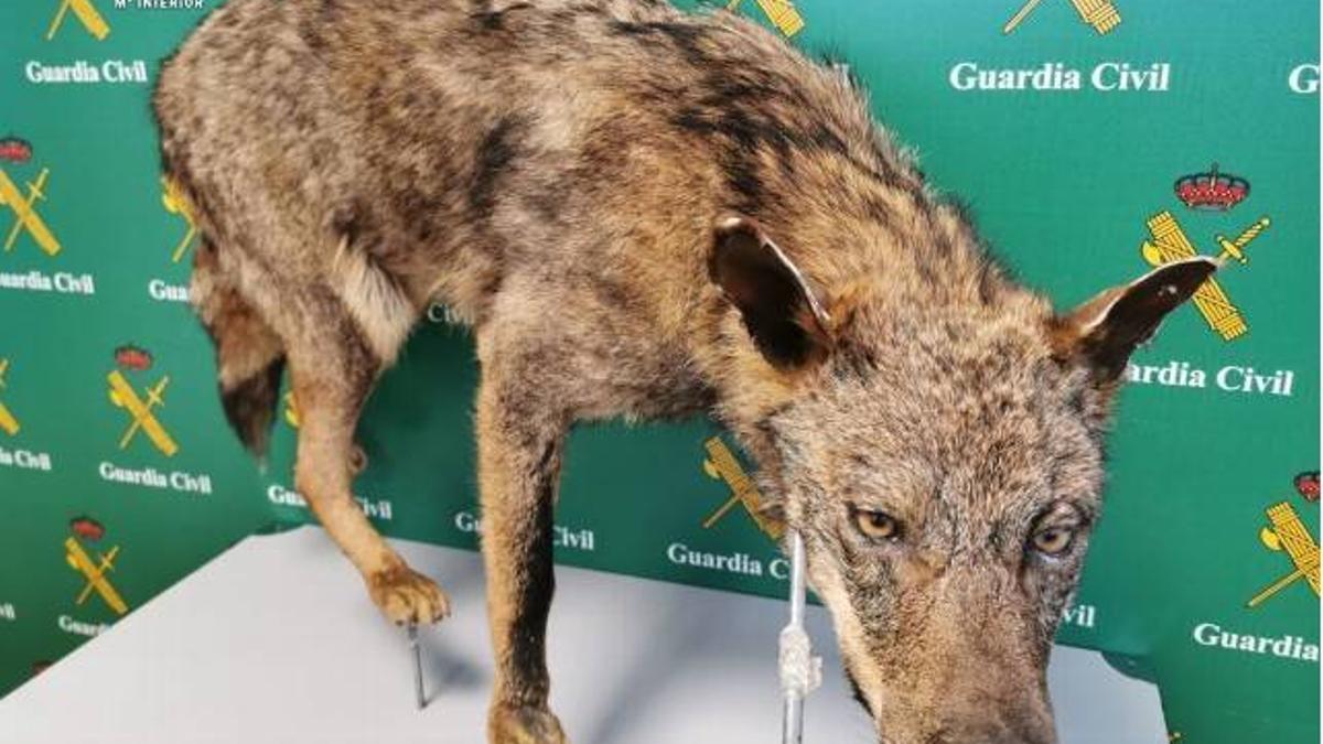 Ejemplar de un lobo disecado.