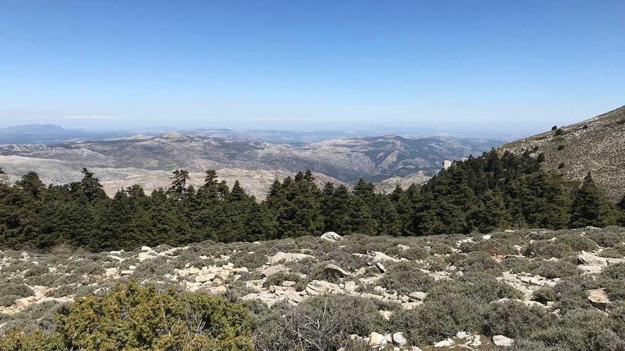Pinsapos en la Sierra de las Nieves.