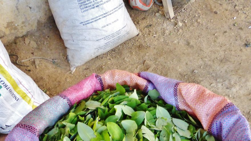 Actualmente, los campesinos que cultivan coca cobran 1.000 pesos colombianos por kilo de hoja de coca.