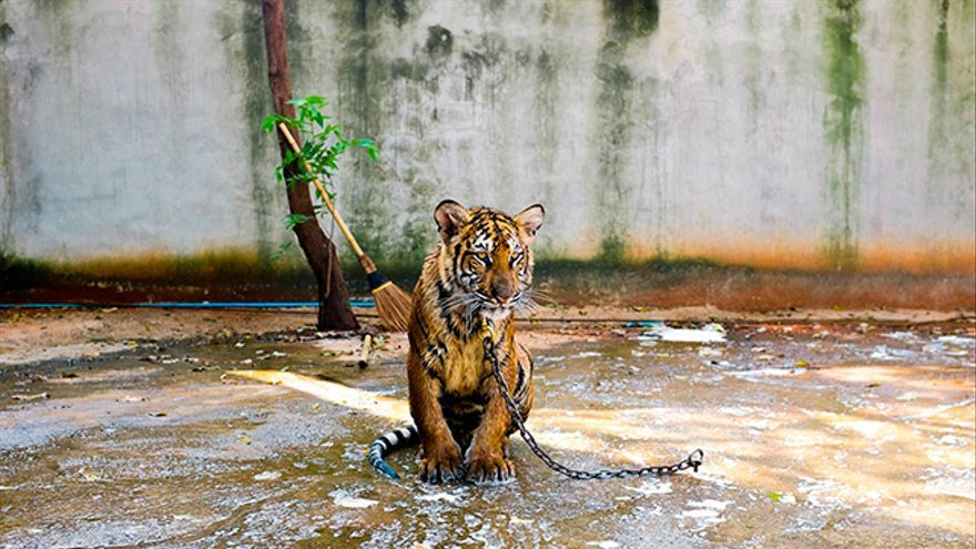 Tigre encadenado
