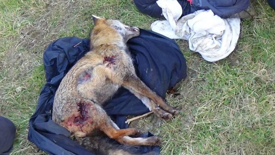 El campeonato gallego de caza de zorro, celebrado la semana pasada, se saldó con 14 animales muertos