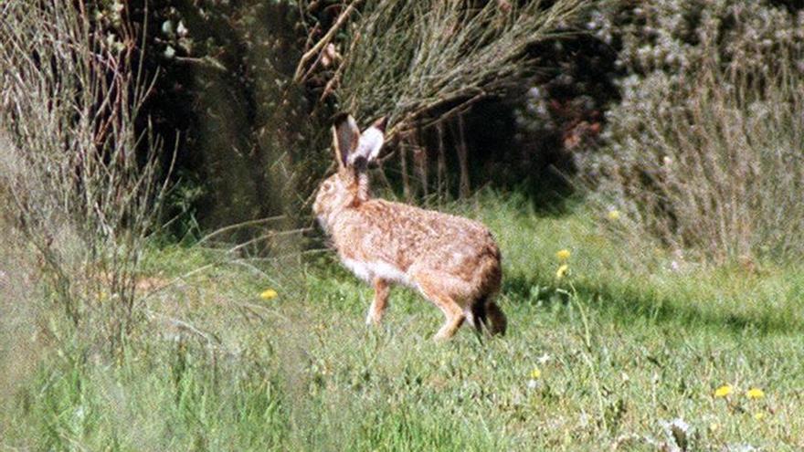 La nueva diarrea vírica del conejo, seria amenaza para águila y lince ibérico