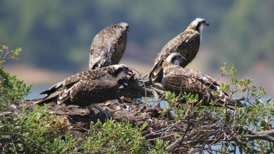 La Junta contabiliza 113 ejemplares de águila pescadora en 18 humedales andaluces