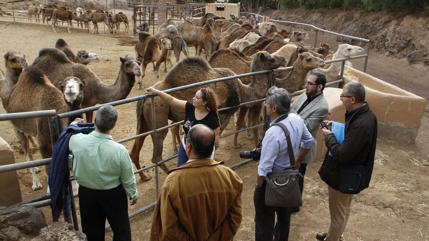 El centro Oasis Park de Fuerteventura cuenta con una de las granjas de dromedarios más grandes de Europa.