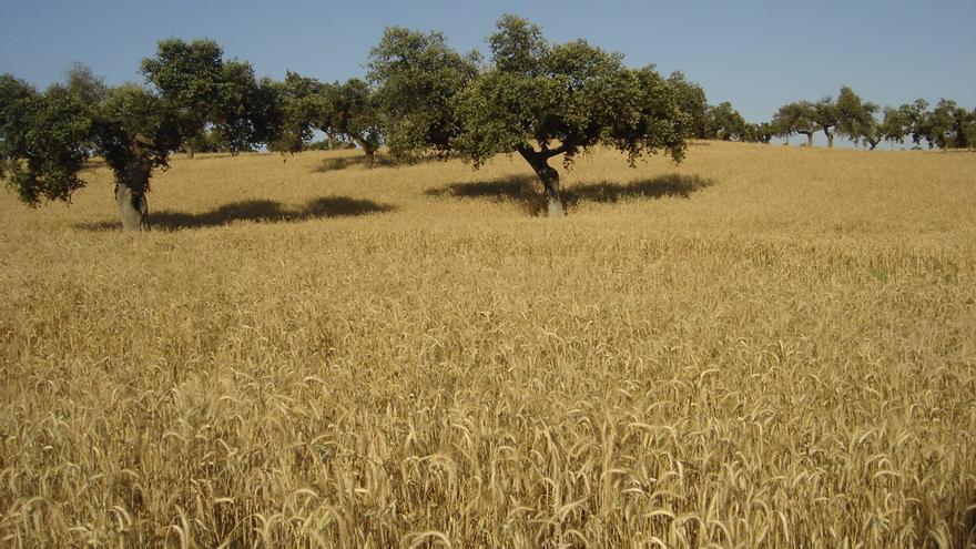 Campo de cereales / GobEx