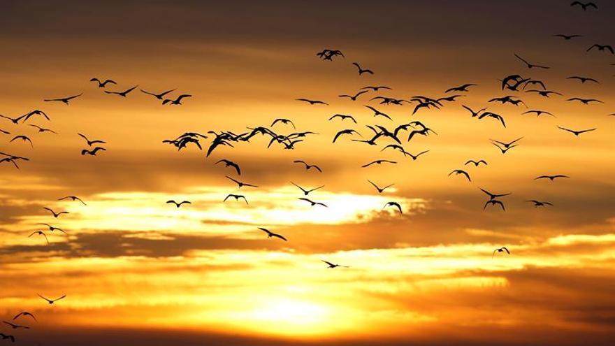 La migración de aves por el Estrecho bate récord con 466.000 ejemplares censados