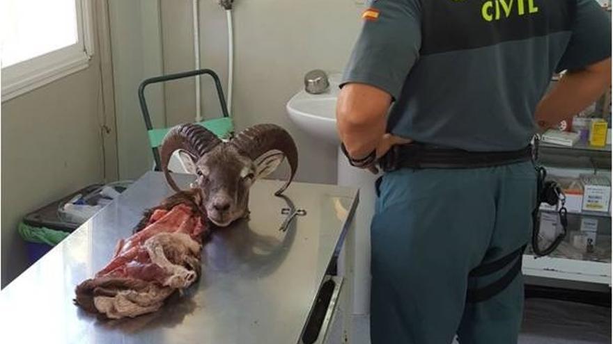 Imagen de los restos del animal confiscados por la Guardia Civil