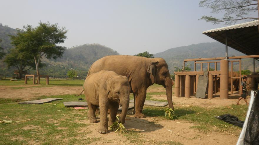 Elefantes disfrutando de hojas de maíz cortadas por los  voluntarios. Foto: Sara Hernández Cofiño