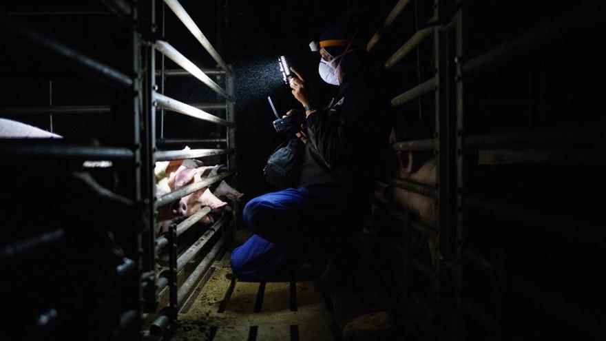 Activistas en una granja de explotación de cerdos