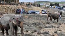 Elefantas del circo Gottani heridas tras el accidente del camión que las transportaba