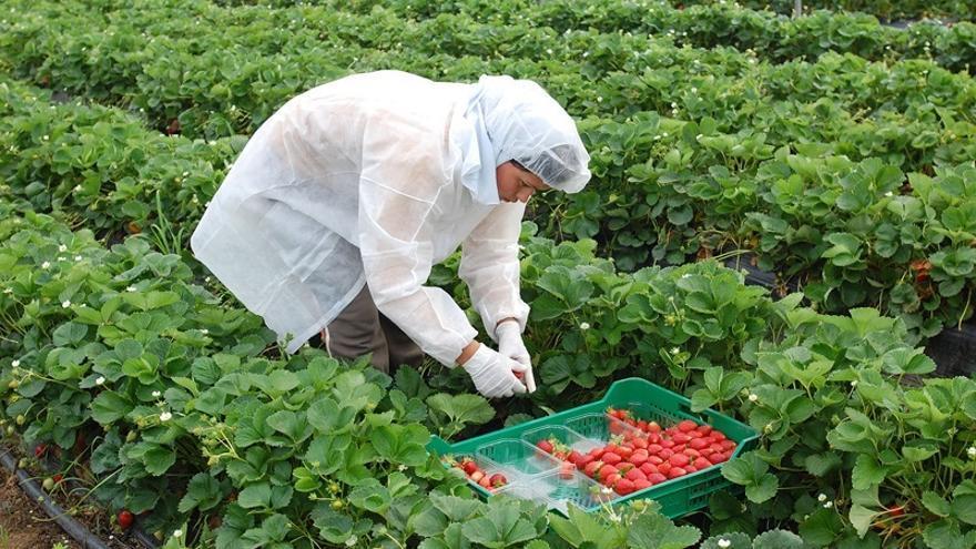 Unos 600 jornaleros jiennenses se apuntan a la bolsa de UPA para trabajar en la recogida de la fresa