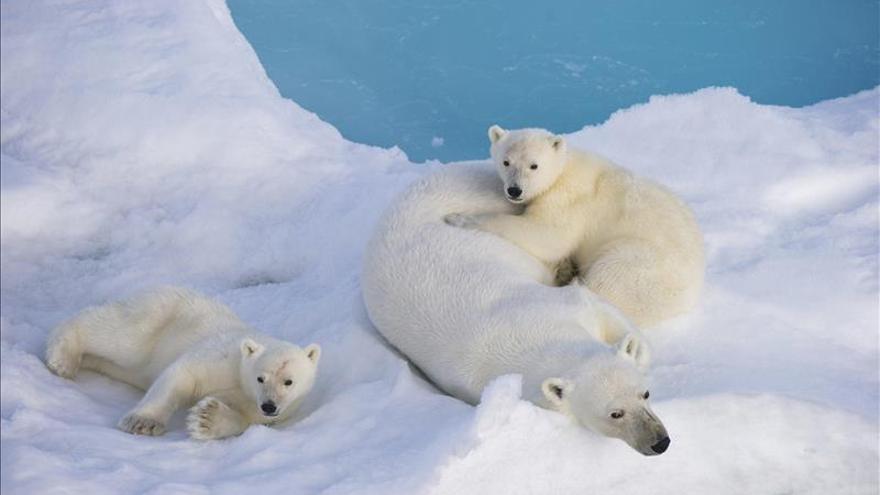 Dos tercios de osos polares se podrían extinguir hacia 2050, advierte una experta