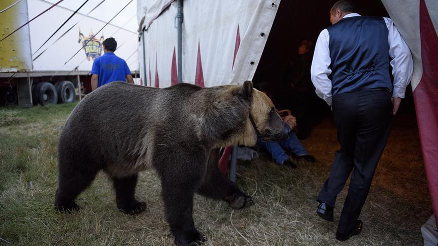 La osa es conducida por las instalaciones del Circo Holiday, en 2016. Foto: Tras los Muros