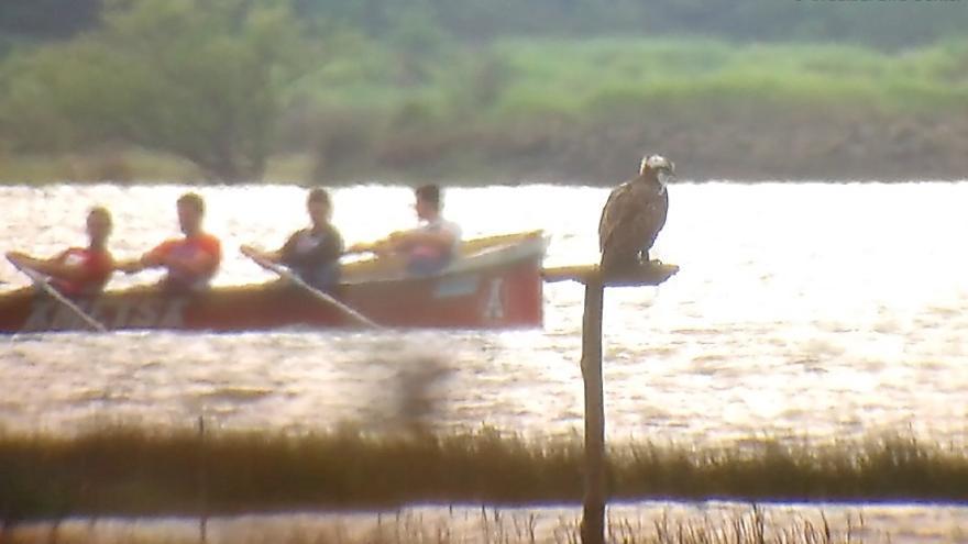 Regresa a Urdaibai la primera águila pescadora del programa de reintroducción de la Sociedad de Ciencias Aranzadi