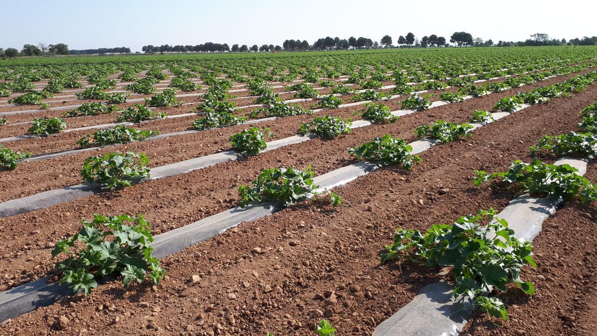 Melones en la Mancha
