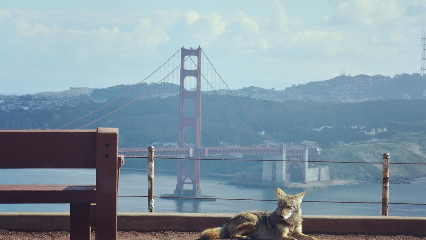 Imagen tomada de un coyote sobre el puente Golden Gate, en San Francisco.