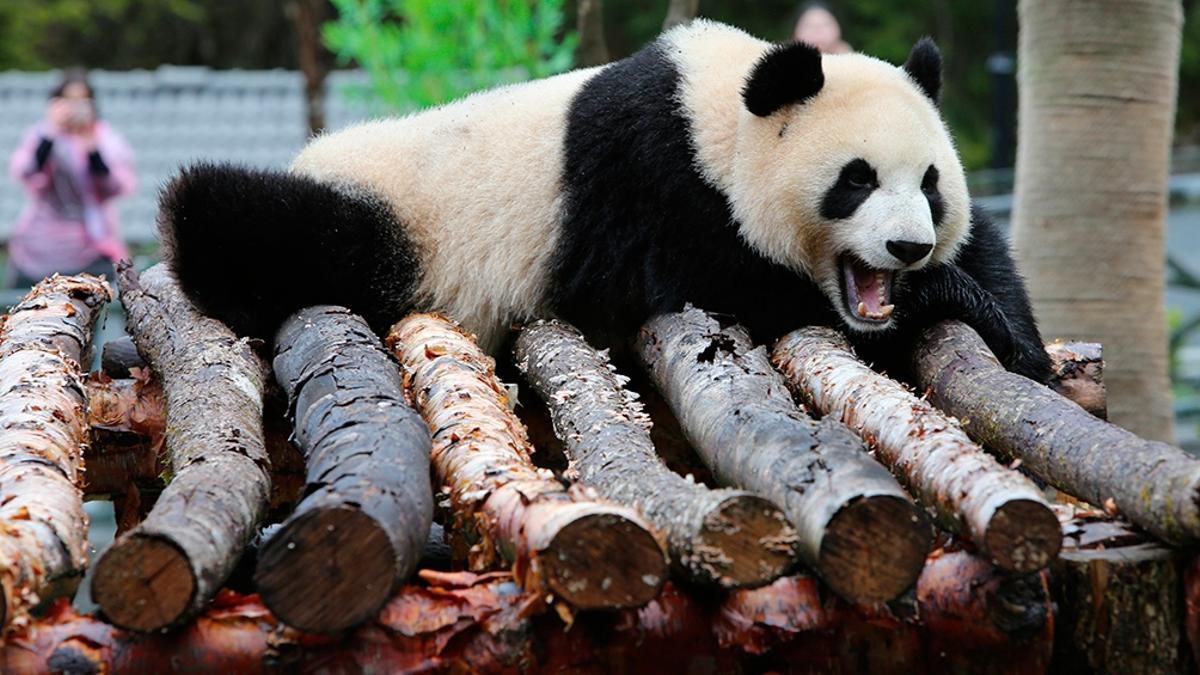 Autoridades del zoológico de Tokio informaron que la panda Shin Shin estaría embarazada.