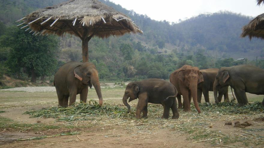 El pequeño Yindee haciendo elefanterías a su manada. Foto: Sara Hernández Cofiño.