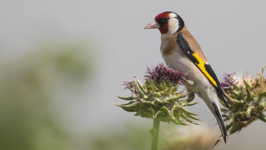 La Comunidad de Madrid autoriza la caza de pájaros cantores por la que Europa expedientó a España