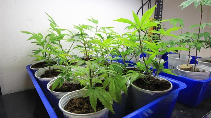 Los Mossos se incautan de 1.104 plantas de marihuana valoradas en 78.000 euros