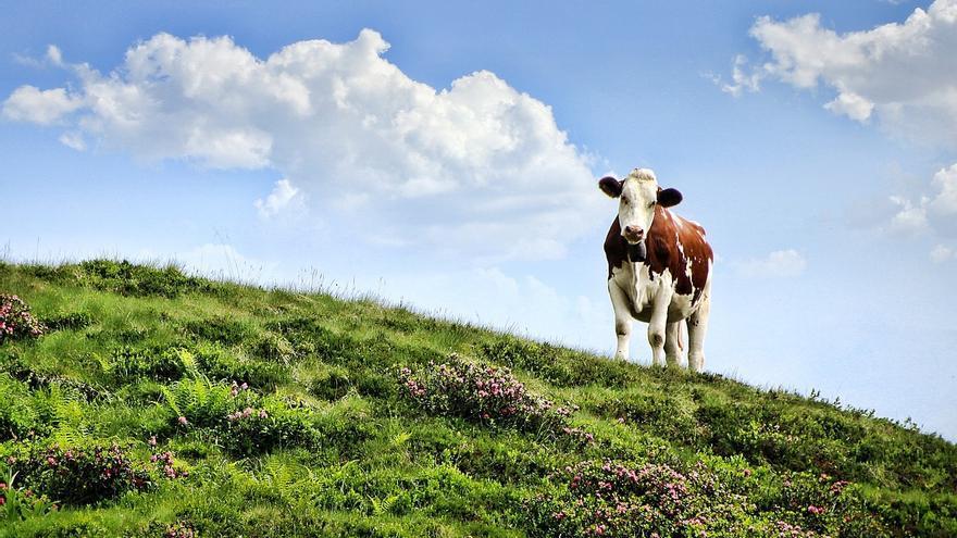 Archivo - Vaca