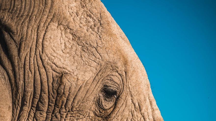 Elefante mutilado