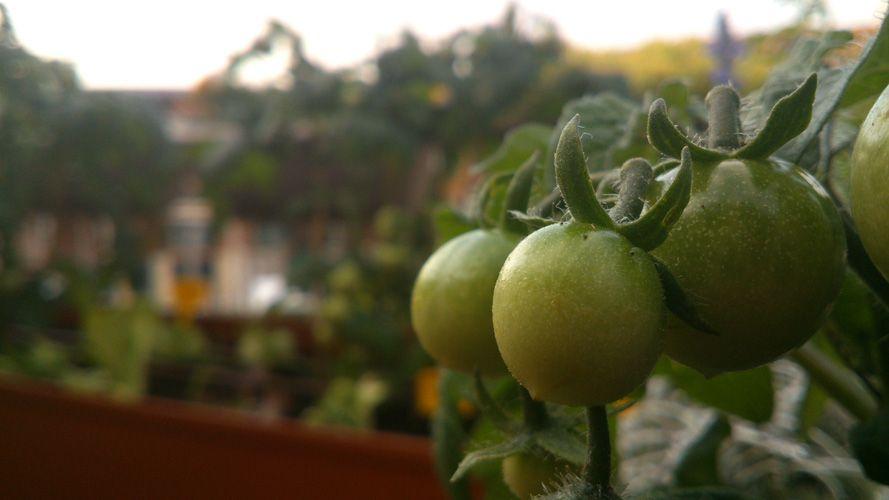 Tomates verdes | REBROTA MALASAÑA