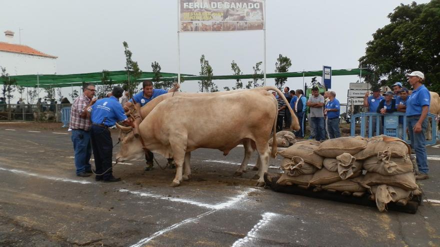 Uno de los participantes en la cuarta prueba del 'XXII Concurso de Arrastre  Isla de La Palma'.