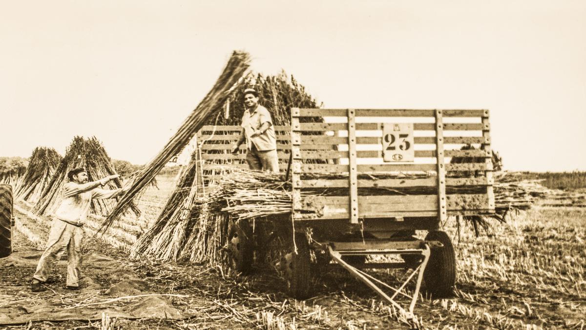 Las cosechas de cáñamo en Jáuregui. En 1975 fue la cosecha más grande. Se habían sembrado 250 hectáreas./ GENTILEZA REVISTA THC