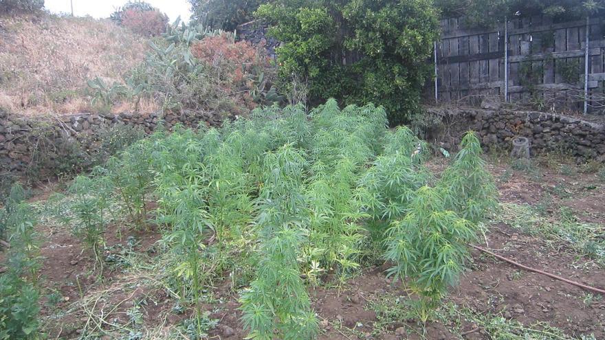 En la imagen, plantación de marihuana localizada en Mazo. Foto: GUARDIA CIVIL