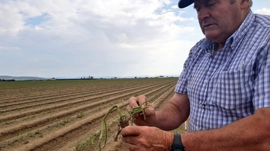 Un agricultor enseña las 34 hectáreas de tomate que sembró hace un mes en su explotación de Santa Amalia / Foto: @UPAUCE_Extr