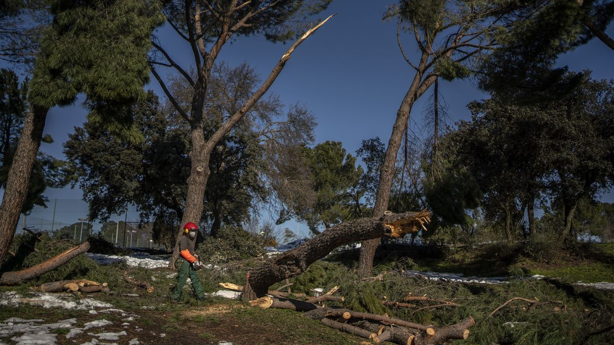 Una jardinera, junto a un árbol recién talado en la Casa de Campo tras el paso del temporal Filomena.