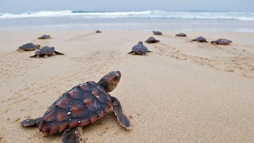 Cámaras hiperbáricas y satélites, al rescate de tortugas en el Mediterráneo