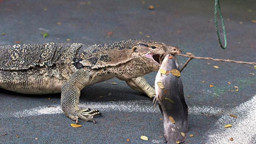 Empiezan a desalojar lagartos de hasta 2 metros de un parque de Bangkok