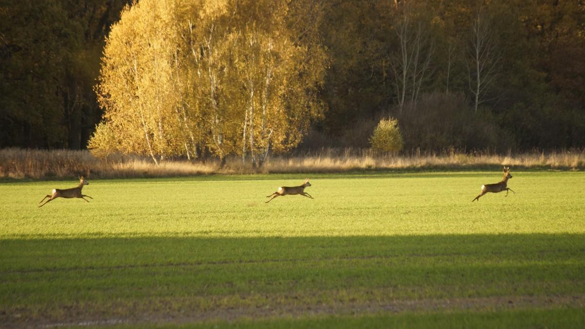 Tres ciervos corretean por un campo de cultivo.