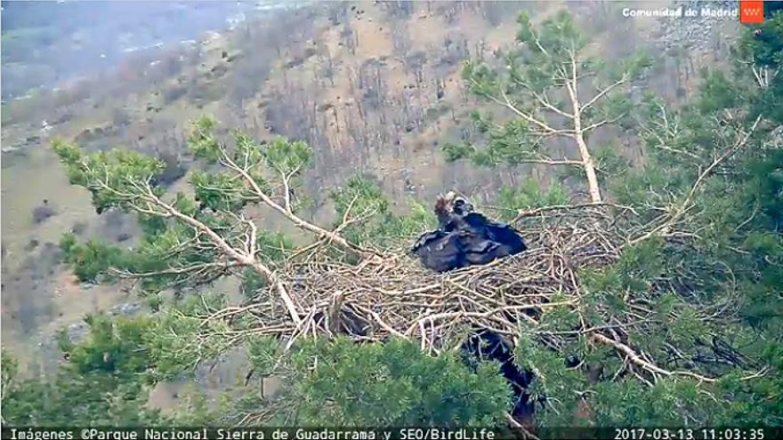 Buitre negro en su nido en la sierra de Guadarrama / SEO. Parque Nacional Guadarrama.